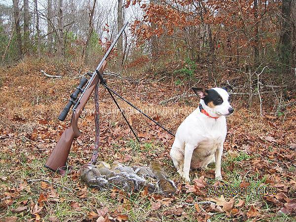 Hunting squirrels with a squirrel dog