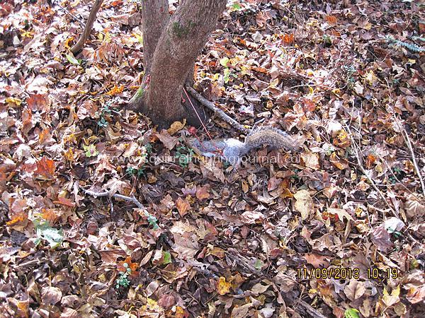Squirrel 1 7 yards