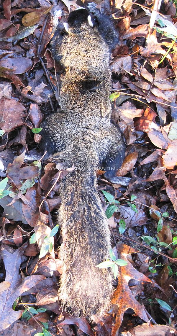 11-28-14 Nate's Tri-color Fox Squirrel