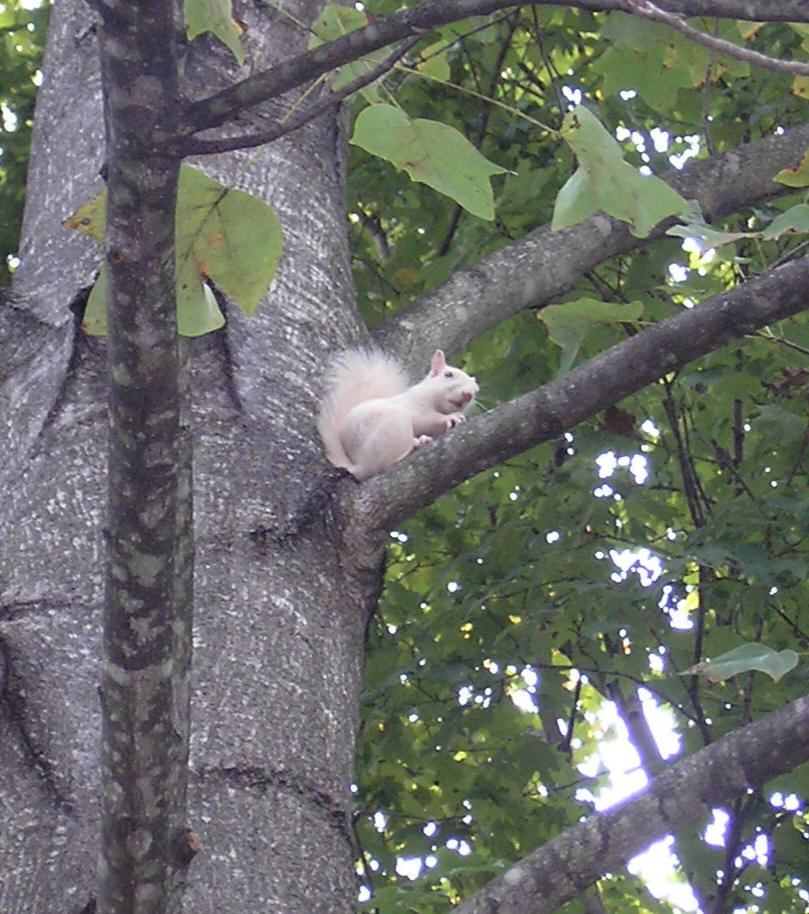 White Squirrel - August 2014